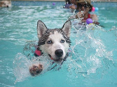 A husky swimming in a swimming pool