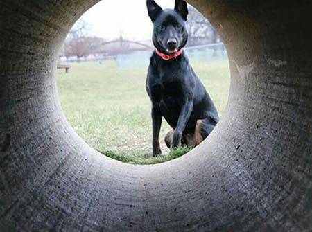 A black German Shepherd looks through a concrete tunnel
