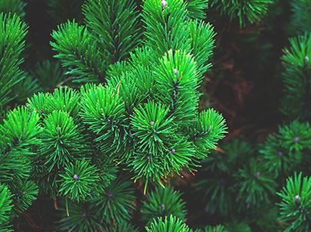 Close-up of a green pine tree